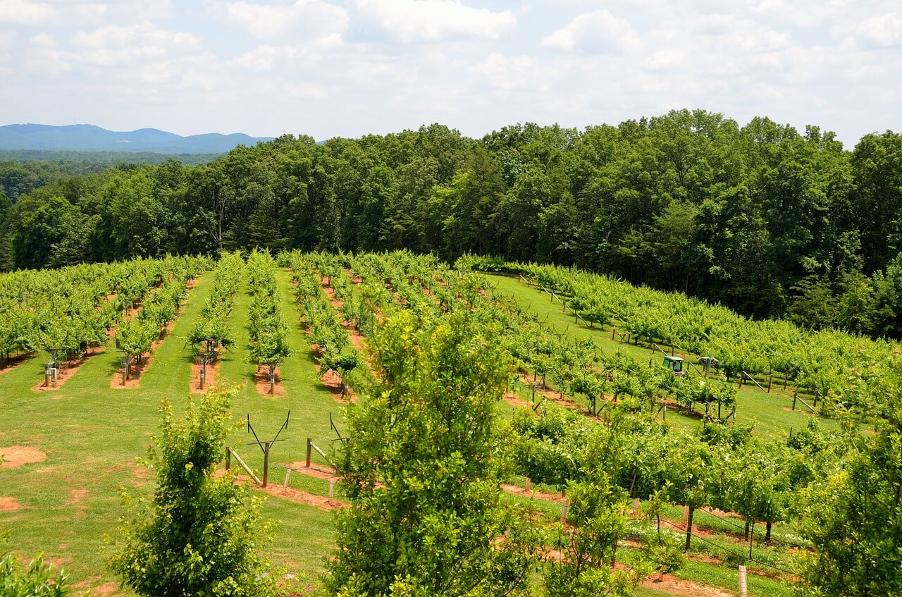 Cultivo de uvas para fabricación de Vino